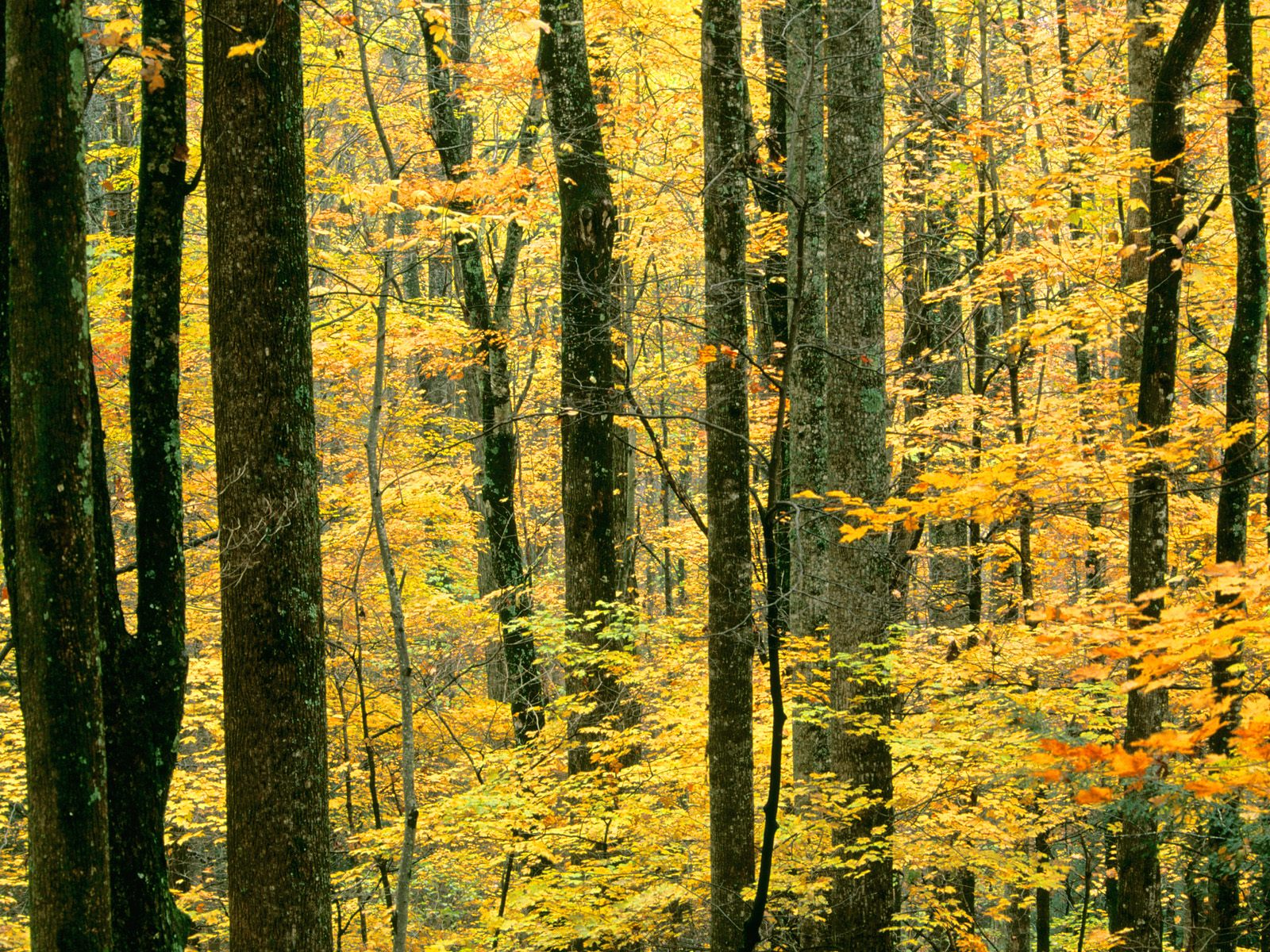 Autumn Forest, Great Smoky Mountains National Park, Tennessee