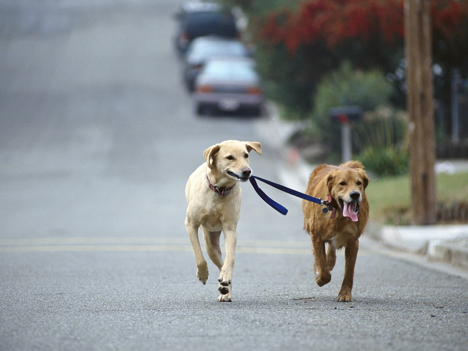 Dog Walking, Golden And Yellow Labrador Retriever Mix