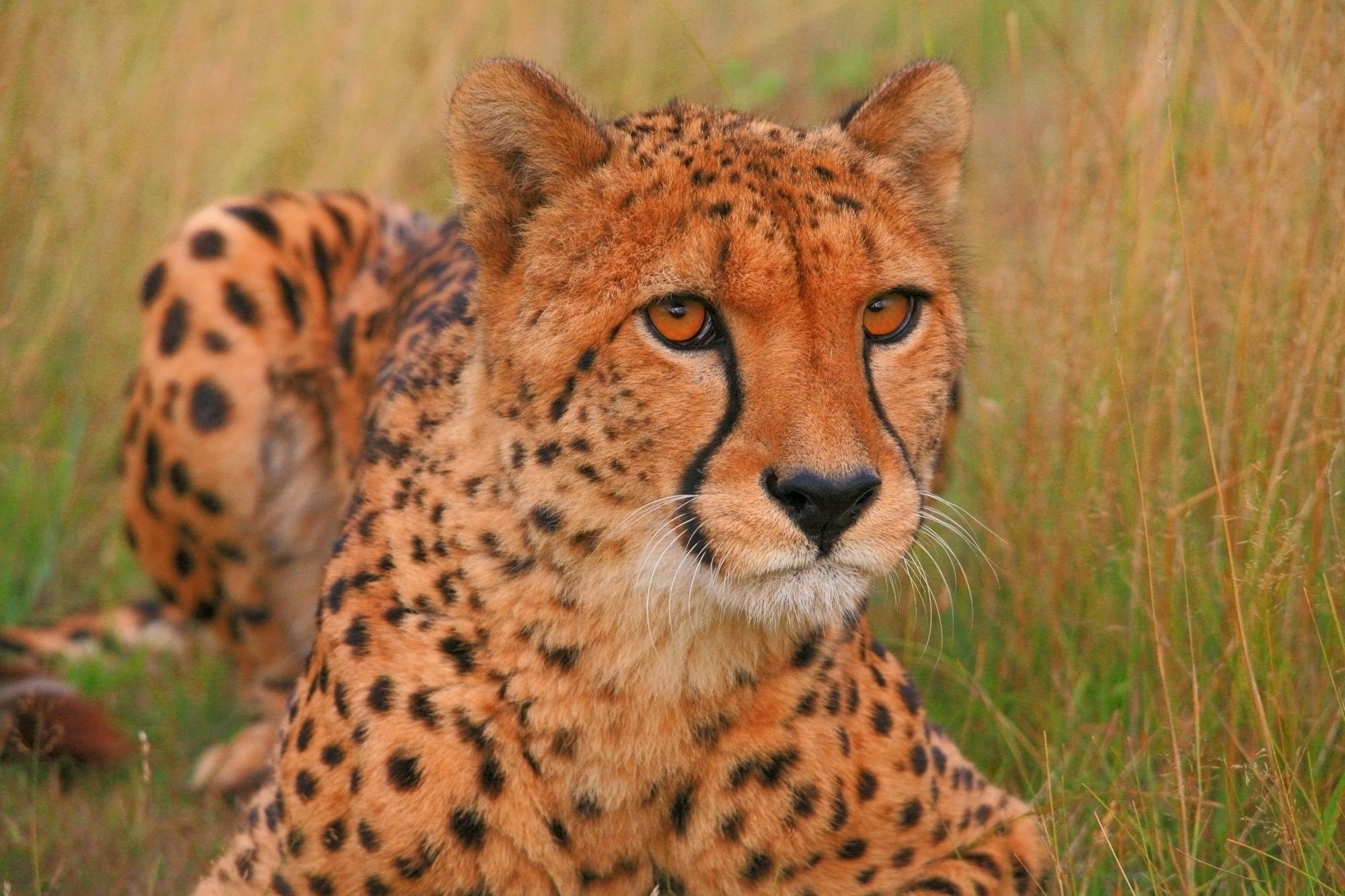 Peop The Cheetah, Wildlife Heritage Foundation, Kent, United Kingdom