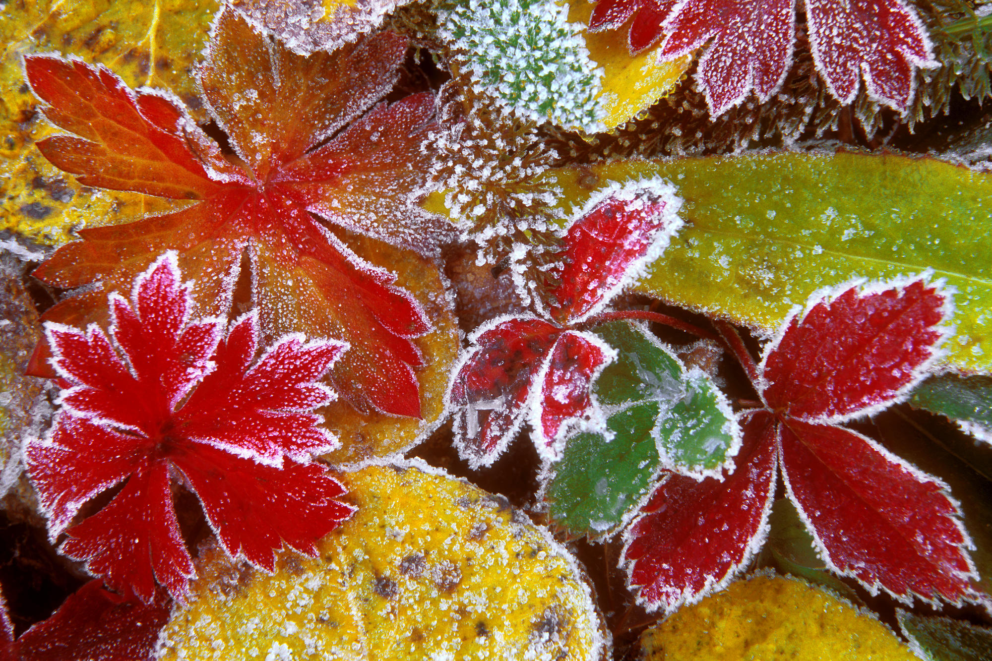 Frosty Leaves, Colorado