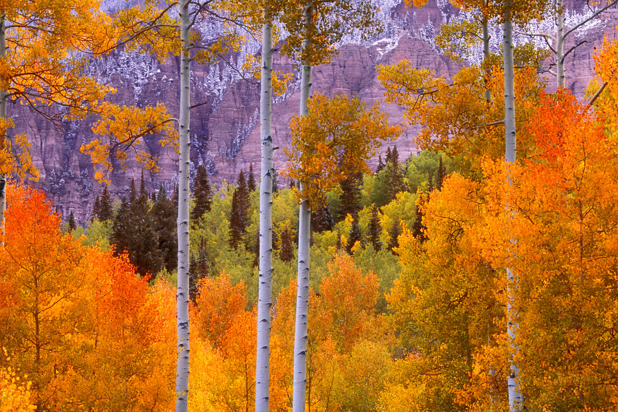 Fall Aspens, Cimaron Road, Colorado