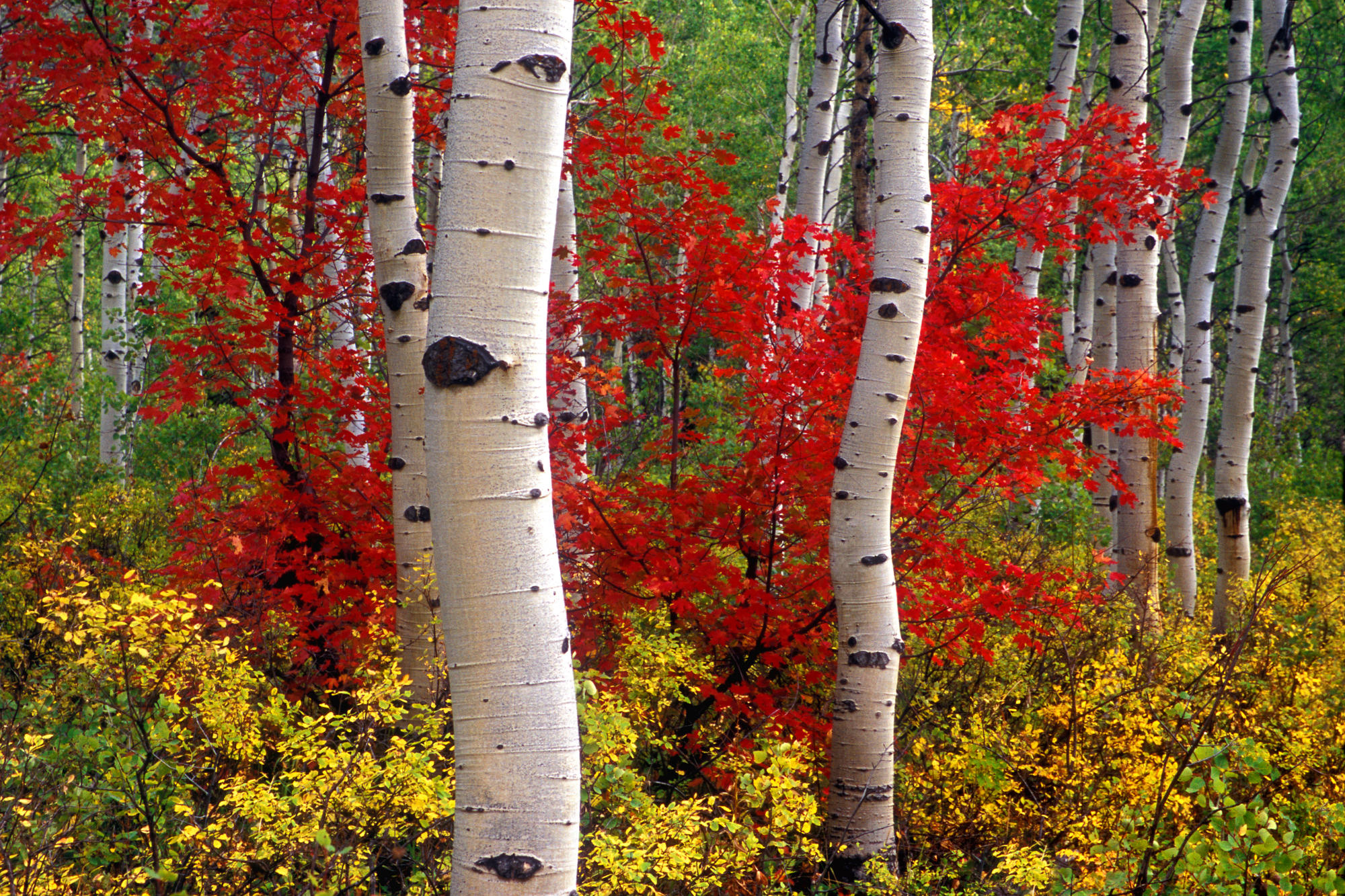 Aspens And Maples, Colorado