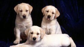 Trinity, Labrador Puppies