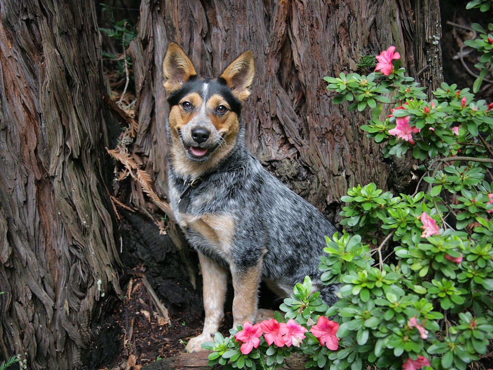 Trixie, Blue Heeler Puppy